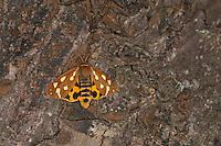 Hofdame, Hyphoraia aulica, Brown Tiger Moth, Noble Tiger, Ecaille noble, Petite Ecaille brune, Bärenspinner, Arctiidae, Arctiinae, erebid moths, erebid moth, woolly bears, woolly worms