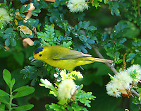 Male Wilson's warbler in fall migration