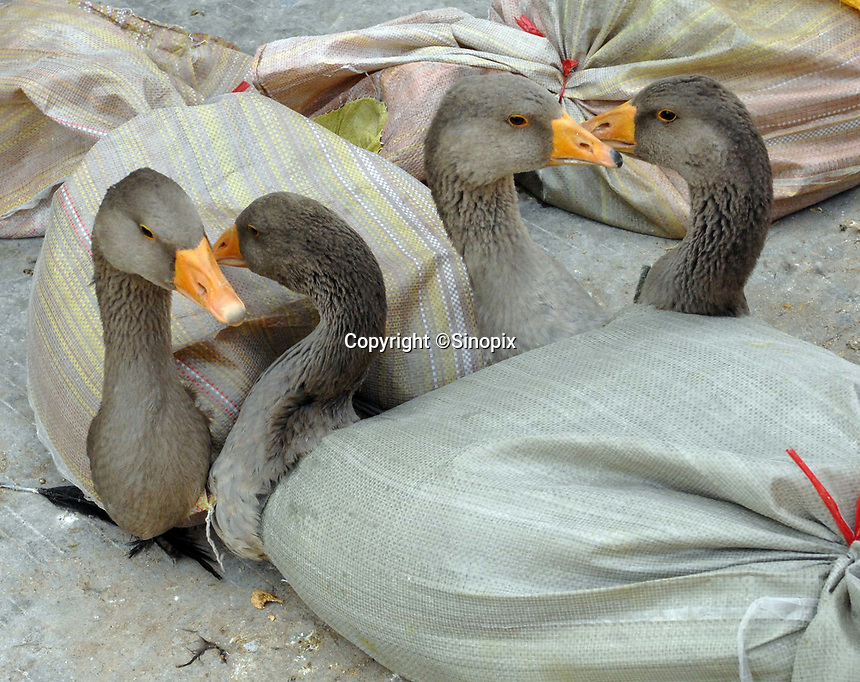 """Geese are stored in plastic bags at a bird and poultry marker in Guangzhou, Chinain this file photo. China's wild animal markets, where live wild animals and reared animals are sold are the source of many viruses that mutate as they """"jump"""" from animals to humans. The coronavirus COVID-19 is thought to have originated in an animal market in China. <br /> By Sinopix Photo Agency"""
