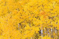 Autumn aspens below Cochetopa Pass, near Gunnison, Colorado.<br /> <br /> Canon EOS 5D Mk II, 70-200 f/2.8L lens with 1.4x teleconverter