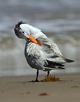 Royal tern in post-breeding plumage preening