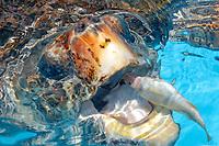 Head detail of loggerhead sea turtle, Caretta caretta, while breathing, endangered species, photo taken in captivity at Tamar Project in Regencia, southeast Brazil