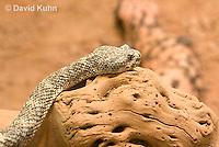 0517-1105  Speckled Rattlesnake (Mitchell's Rattlesnake or White Rattlesnake), Southwestern United States, Crotalus mitchellii  © David Kuhn/Dwight Kuhn Photography