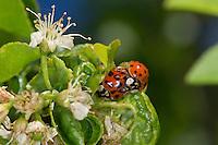 Asiatischer Marienkäfer, Harlekin, Paarung, Kopula, Kopulation, Harmonia axyridis, Asian lady beetle, Harlequin lady beetle, copulation