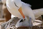 Black-browed albatross and chick, Falkland Islands
