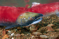 sockeye salmon, Oncorhynchus nerka, They return from the sea to the rivers of their birth to build nests called redds, breed and then die, British Columbia, Canada