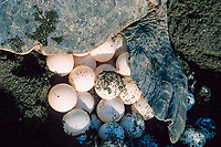 olive ridley sea turtle, Lepidochelys olivacea, prepares to cover a clutch of eggs, Playa Ostional, Costa Rica, Pacific Ocean