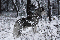 Lakota Sunrise aka Koty Bear getting his first taste of Montana winter 2010 photos of siberian huskies, husky photos, pictures of siberian huskies, best photos of huskies, best photos of siberian huskies