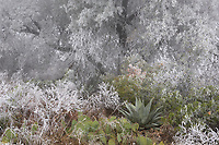 Frost covered plants, Big Bend National Park, West Texas, USA