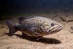Smallmouth bass swimming right over sand bottom