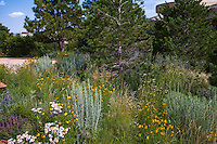 Colorado front yard meadow garden with White Pine tree, Erigeron, Ratibida flowers, wheat grass (Agropyron or Pascopyrum smithii), and chamisa, design by Tom Peace