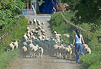 Moving Mule ewes after sorting finished lambs at Houghall Community College, Durham. The lambs, from the 500 ewe flock on the 400 acre land based college, will be marketed through NCP.