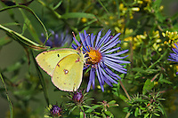 Clouded Sulphur/Common Sulphur (Colias philodice) sips on September aster nectar along shoreline of Lake Erie, Ontario, Canada..