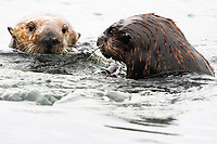 The male sea otter (brown) initiates mating activities again with the female sea otter (Enhydra lutris nereis), Moss Landing in the Monterey Bay National Marine Sanctuary.