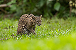 Geoffroy's Cat (Leopardus geoffroyi), habituated female, Ibera Provincial Reserve, Ibera Wetlands, Argentina