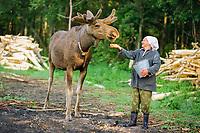 Nina Kudravseyka feeding oatmeal to a bull Eurasian elk, Alces alces, called Luchik.Sumarkova Eurasian elk farm Kostroma, Russia, Arctic