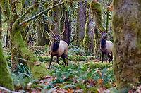 Roosevelt Elk Bulls (Cervus canadensis roosevelti).  Pacific Northwest.  Late October.
