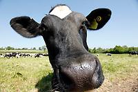 Photo: Richard Lane/Richard Lane Photography. Holstein Friesian dairy cows grazing near Wincanton, Somerset. 15/05/2018.