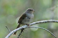 Olive Sparrow, Arremonops rufivirgatus, adult, Sabal Palm Sanctuary, Rio Grande Valley, Texas, USA, March 2001