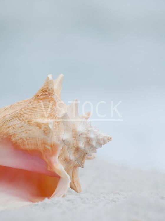 USA, Florida, St. Pete Beach, Pink conch shell on beach