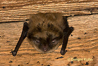 MA20-619z  Little Brown Bats, Myotis lucifugus