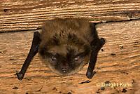 MA20-619z  Little Brown Bats, Myotis lucifugus