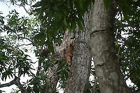 Iguana am Baum