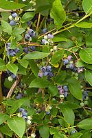 Blueberry Polaris