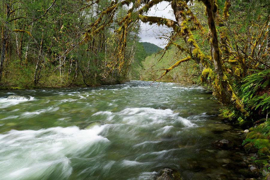 Beckler River and big leaf maple tree, King County, Cascade Mountains, Washington, USA