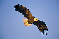Bald eagle (Haliaeetus leucocephalus) flying