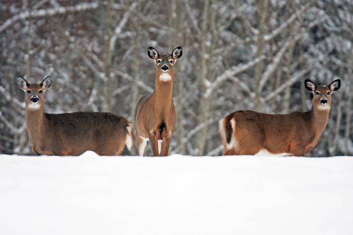 Whitetail Deer Trio  #D4