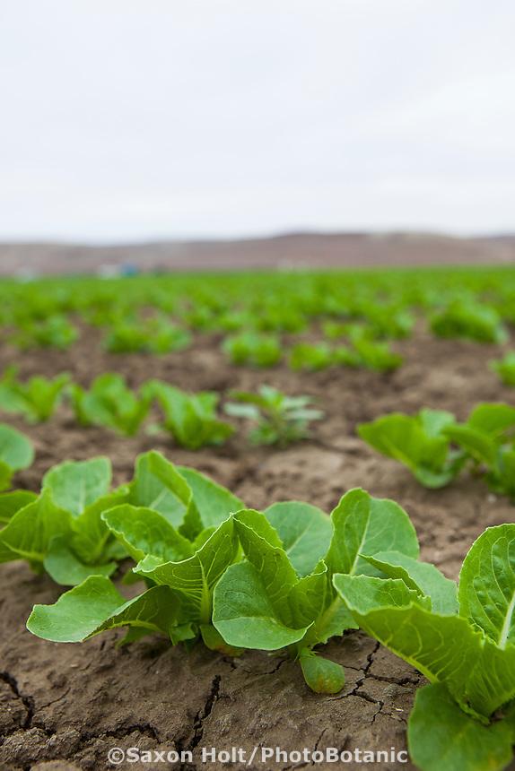 Romaine lettuce fields, D'Arrigo Farms; Salinas Valley, California