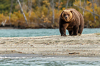 Alaskan Brown (Grizzly) Bear walks on shoreline of  Crescent Lake in Lake Clark National Park.  Fall - Autumn.  Alaska<br /> <br /> Photo by Jeff Schultz/  (C) 2019  ALL RIGHTS RESERVED<br /> <br /> Bears Glaciers Fall Color 2019 photo tour