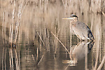 Lake Hodges, Escondido, San Diego, California; a great blue heron reflects in the shallow water, surrounded by reeds, while fishing for food in early morning sunlight