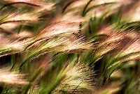 V00107.tif   Backlit grass. Near Paisley, Oregon