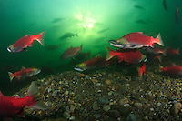 Sockeye Salmon (Oncorhynchus nerka), milling at the mouth of the Adams River in Shushwap Lake, British Columbia, Candada.  When they are ready they will swim up the river to spawn.