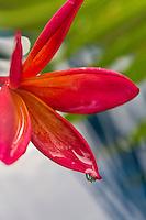 A plumeria flower with a raindrop on O'ahu.