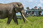 Tourists watching / photographing large bull African elephant (Loxodonta africana). Near Ndutu, southern Serengeti / Ngorongoro Conservation Area (NCA), Tanzania.