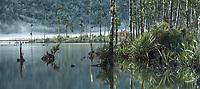 Morning at Lake Wahapo with juvenile kahikatea trees, Westland Tai Poutini National Park, UNESCO World Heritage Area, West Coast, New Zealand, NZ