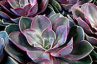 Flores. Echeveria, rosa-de-pedra ( Echeveria glauca ). UK. Foto de Manuel Lourenço.