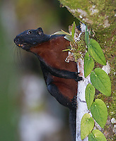 The Prevost's squirrel was a species commonly seen at the Borneo Rainforest Lodge.