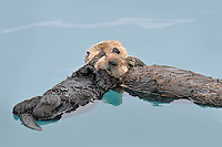 Alaskan or Northern Sea Otter (Enhydra lutris) mother holding pup while they sleep.