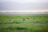 Antelope on Carrizo Plain National Monument, California
