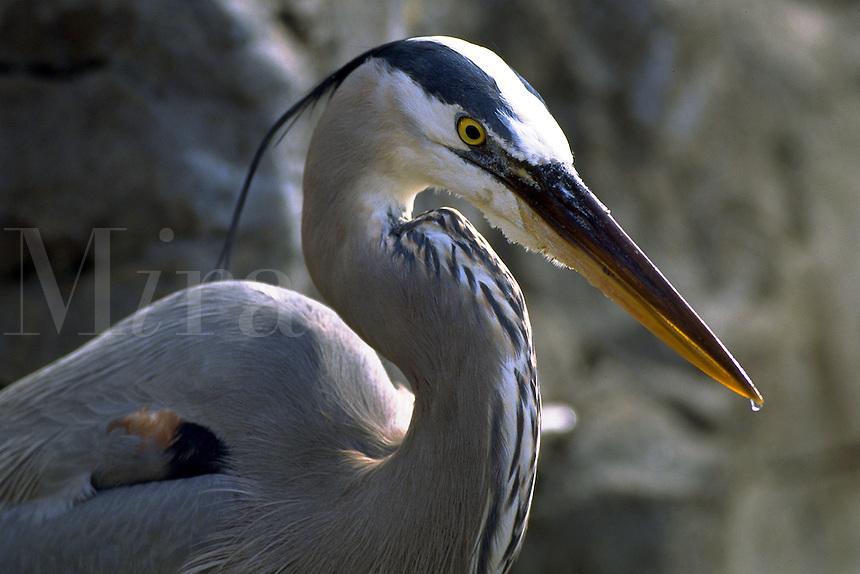 Great Blue Heron close up. Florida.