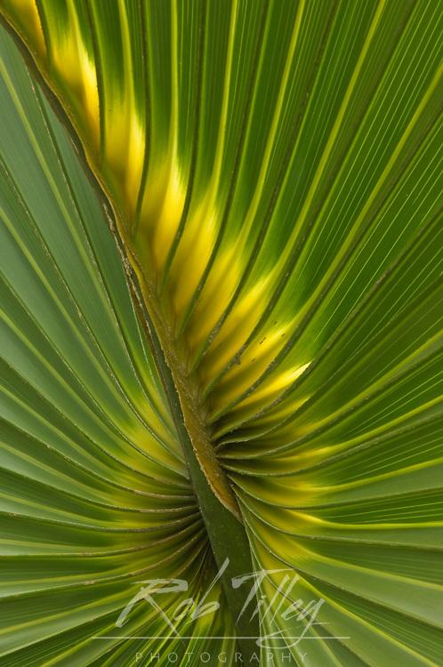 USA, FL, Sanibel, Cabbage Palmetto Leaf Detail (Sabal palmetto)