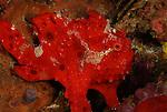 Painted Frogfish-Red Phase, Antennarius pictus, Anilao, Batangas, Philippines, Amazing underwater Photography
