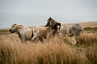 Sunday  30 April 2017 Pictured: Wild Horses on the Preseli Mountains, Pembrokeshire