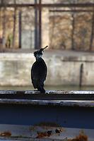 This is a member of a group of cormorants -Phalacrocorax carbo- that was used to stay along the Seine river, near the mouth of the Canal the Sain Martin. Here it is looking for the appearing of something to eat (Paris, 2010).<br /> <br /> Questo è un membro di un gruppo di cormorani che era solito stare lungo la Senna, vicino l'imbocco del Canale di San Martino. Qui sta osservando, alla ricerca di qualcosa da mangiare (Parigi, 2010).