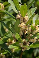 Lorbeerbaum, Lorbeer-Baum, Echter Lorbeer, Edel-Lorbeer, Lorbeerblatt, Lorbeerblätter, Laurus nobilis, Bay Tree, Sweet Bay