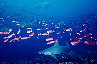 scalloped hammerhead sharks, Sphyrna lewini, Pacific creolefish, Paranthias colonus, schooling, Wenman Island, Galapagos Islands, Ecuador, East Pacific Ocean